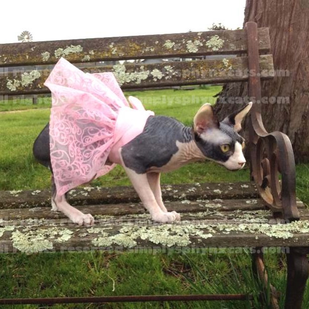 Belle of the Bald Tutu in Pink Filigree by Stella Oriens for Simply Sphynx